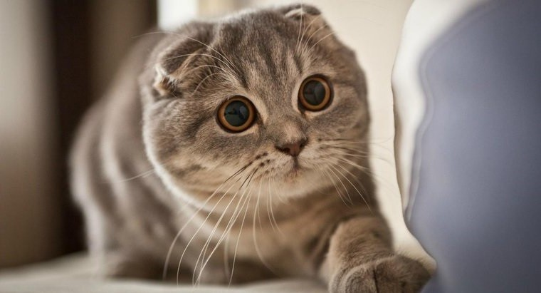 Какая порода кошки лучше?