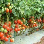 Как высаживать помидоры?