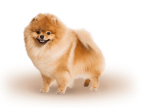 Домашнее животное – померанский шпиц